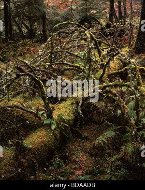 Felled tree covered in moss and lichen near Inveraray, Argyll, Scotland, UK - Stockfoto