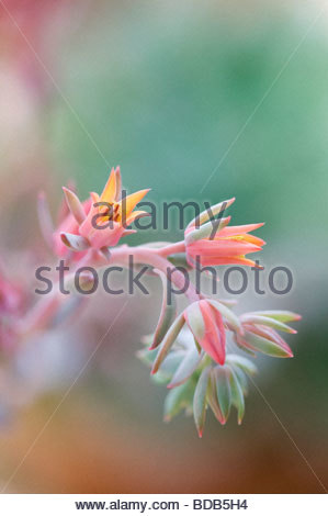 Echeveria 'curly locks' flower - Stock Photo