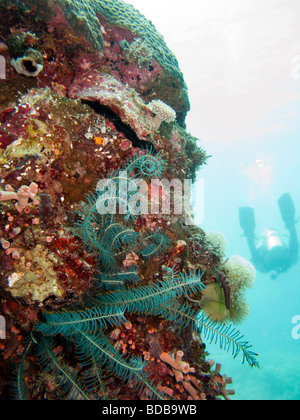 Indonesia Sulawesi Wakatobi National Park underwater blue crinoid feather star on coral reef wall - Stock Photo