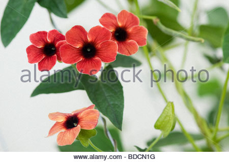 black eyed susan thunbergia alata stock photo royalty. Black Bedroom Furniture Sets. Home Design Ideas