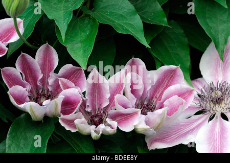 clematis clematis pink fantasy stock photo royalty free. Black Bedroom Furniture Sets. Home Design Ideas