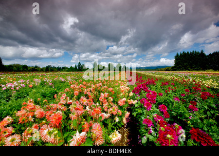 Dahlia field and clouds. Swan Island Dahlia Farm. Oregon - Stockfoto