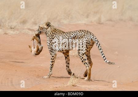 Africa, Kenya, Samburu National Reserve, Cheetah (Acinonyx jubatus) carries a hunted rabbit in its mouth back to - Stockfoto