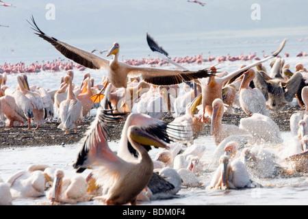 Kenya, lake naivasha, Kenya, a flock of white pelican pelecanus onocrotalus - Stockfoto