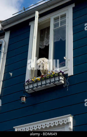 A white poodle dog looks out from an upstairs house window. Alesund. Norway - Stock Photo