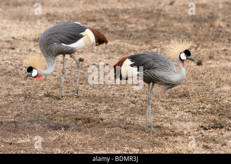 Kenya, Samburu National Reserve, Kenya, two Grey Crowned Cranes (Balearica regulorum) - Stock Photo