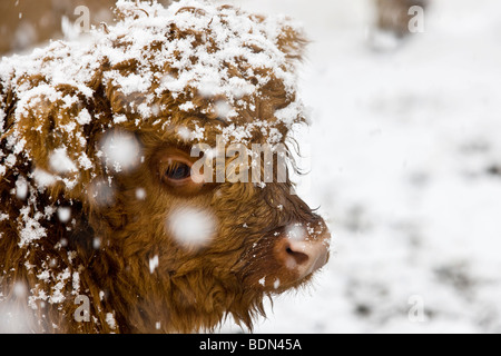 Highland cattle, calf in a snowstorm, North Tyrol, Tyrol, Austria, Europe - Stock Photo