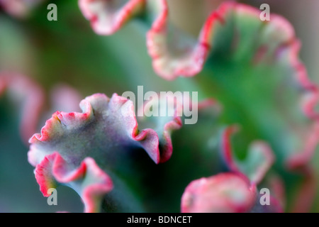 Succulent leaf close up. Los Angeles, CA - Stock Photo