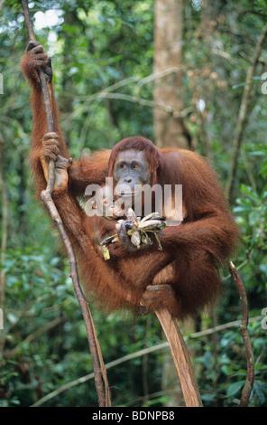 Orangutan embracing young in tree - Stock Photo
