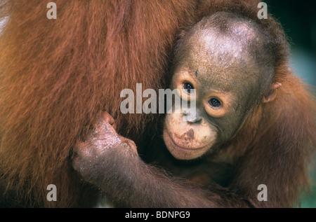 Young Orangutan embracing mother, close-up - Stock Photo