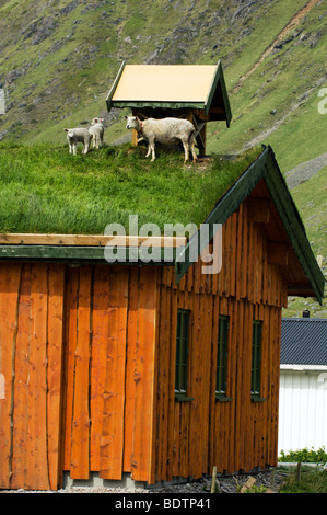 Sheep on a roof Lofoten islands Norway. - Stockfoto