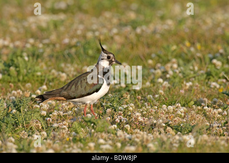 Common lapwing Vanellus vanellus in machair. Isle of South Uist, Scotland. - Stock Photo
