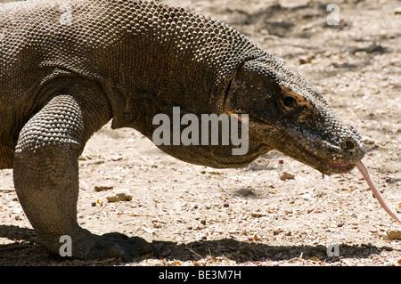 A Komodo Dragon (Varanus komodoensis) shows its tongue in Pulau Rinca, part of the Komodo National Park, Flores, - Stock Photo