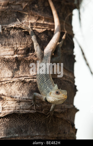 Calotes versicolor lizard on a coconut palm tree trunk - Stock Photo