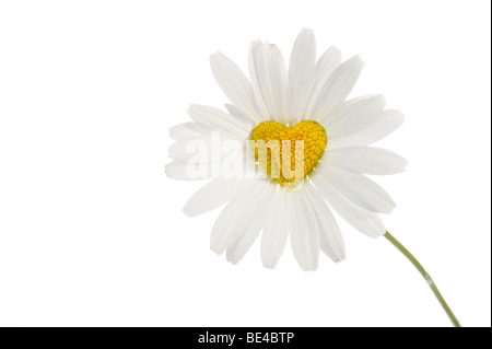 Daisy (Leucanthemum) with disc flowers in heart shape - Stock Photo