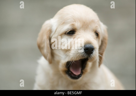 Portrait of a Puppy - Stock Photo