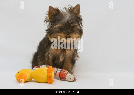 yorkshire terrier puppy 14 weeks old yorkshire terrier puppy 12 weeks ... Yorkshire Terrier 5 Weeks Pregnant