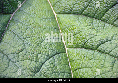 Chilean rhubarb (Gunnera tinctoria), Chile - Stock Photo