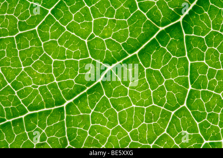 Leaf-veins, light shining through - Stock Photo