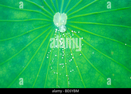 Drops on the water-repellent leaf of the lotus (Nelumbo nucifera) - Stock Photo