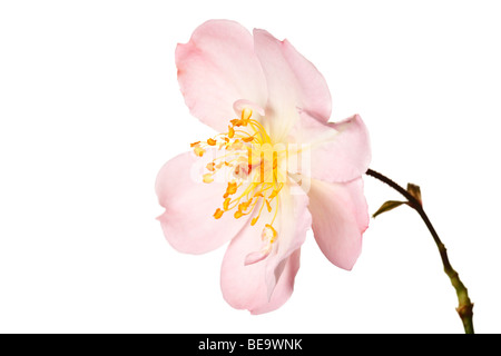 pink garden rose isolated on a pure white background - Stock Photo