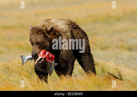 Stock photo of an Alaskan brown bear walking through a golden sedge meadow holding a silver salmon. - Stock Photo