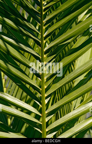 leaf of a palm, palm tree, arecaceae, background - Stock Photo