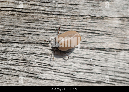 Sheep tick or castor bean tick (Ixodes ricinus) with full blood bag on withered wood - Stock Photo