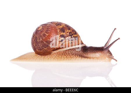 Garden snail isolated on a white background - Stock Photo