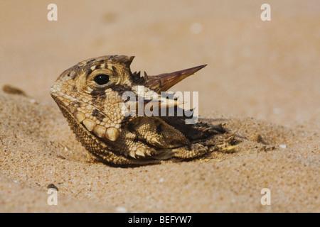 Texas Horned Lizard (Phrynosoma cornutum), adult hiding in sand, Rio Grande Valley, Texas, USA - Stock Photo