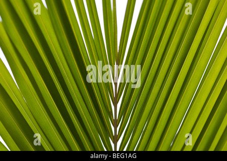 Close-up pattern of palm leaves in Guanacaste, Costa Rica. - Stockfoto