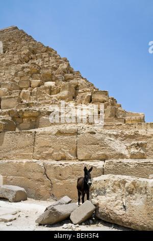 Small Donkey near Pyramid of Khafra, Cairo, Egypt - Stockfoto