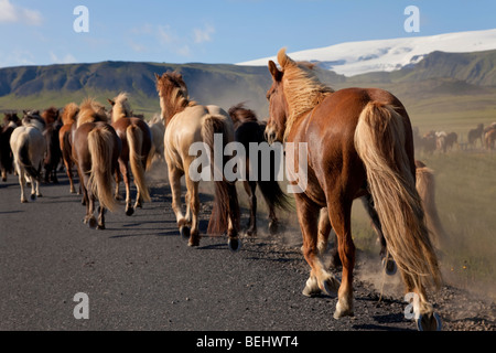 Icelandic horses galloping by the side of a road, illuminated by golden evening light. Shot on location in Iceland. - Stock Photo