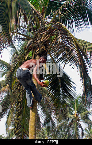 Man Climbing A Coconut Tree In Barbados Stock Photo Royalty Free Image 22777204 Alamy