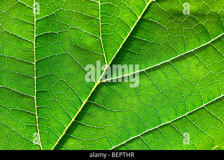 Mulberry leaf, green leaf, green, leaf, veins, macro, close-up, close up, earth - Stock Photo