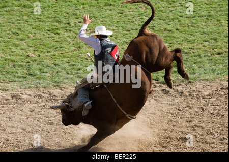 Rodeo Cowboy Riding Bucking Brahma Bull With Rodeo Clown