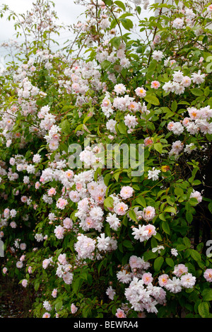 rose 39 paul 39 s himalayan musk 39 rambling rose growing on a house in the stock photo royalty free. Black Bedroom Furniture Sets. Home Design Ideas