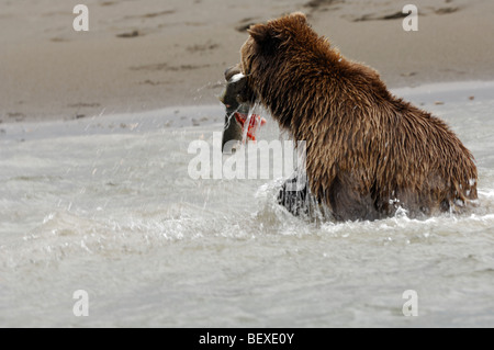 Stock photo of an Alaskan brown bear fishing for salmon with a fresh catch in her mouth, Lake Clark National Park, - Stock Photo