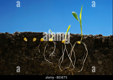 Grain corn early growth development stages showing root systems; left to right: six stages from seed stage to two - Stock Photo