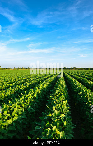 Agriculture - Healthy mid growth soybean crop in mid Summer / Iowa, USA. - Stock Photo