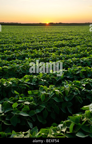 Agriculture - Healthy mid growth soybean crop in mid Summer at sunset / Iowa, USA. - Stock Photo