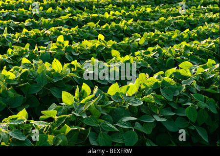 Agriculture - Rows of healthy mid growth soybeans in late afternoon light / Iowa, USA. - Stock Photo