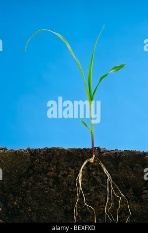 Agriculture - Early growth grain corn plant at the three-leaf stage showing the root structure / Iowa, USA. - Stock Photo
