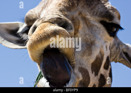 A close-up of a 'Giraffe' sticking his tongue out. - Stockfoto