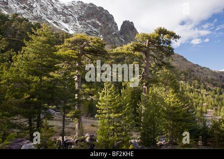 High altitude mature Corsican Pine forest ( Pinus nigra ...
