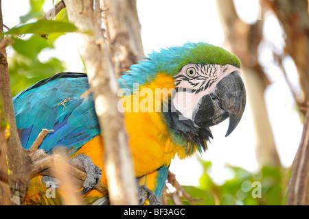 Blue and yellow macaw, Ara ararauna, San Francisco Ranch at Pantanal, Miranda, Mato Grosso do Sul, Brazil - Stock Photo
