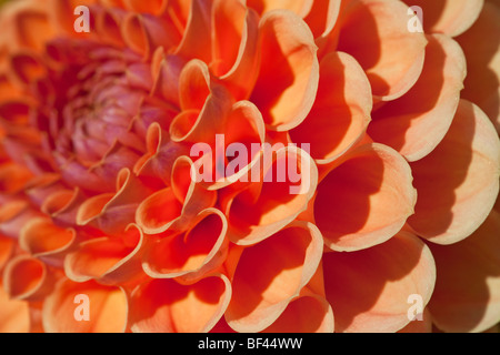 Close up of the heart shaped petals of an orange coloured Dahlia - Stock Photo
