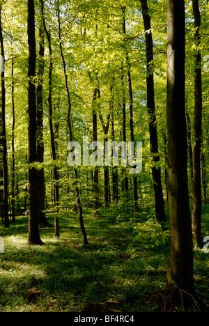 Spring in a Hornbeam (Carpinus betulus) forest - Stock Photo