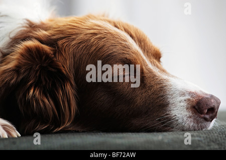 Border Collie dog - sleeping - Stock Photo
