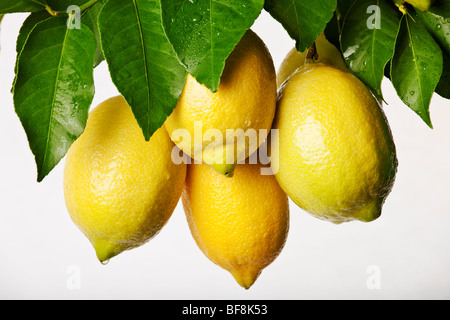 Bunch of fresh lemons on white background - Stock Photo